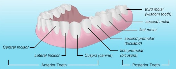 The names of teeth and their locations: incisors, canines, premolars, and molars.