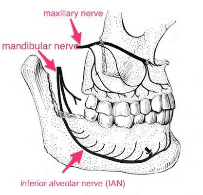 Innervation of the teeth