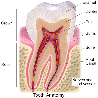 Tooth anatomy showing the enamel, dentine and pulp